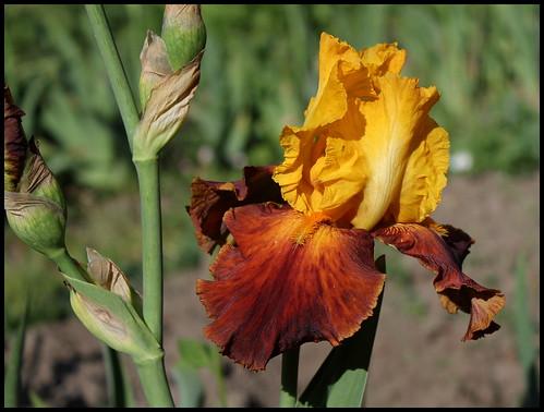 Iris Fiesta Time (3)