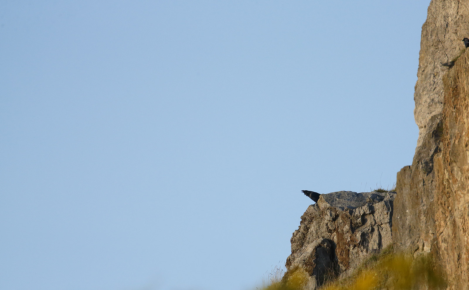 Young Raven calling on cliff