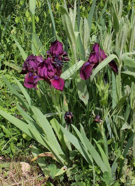 Iris Cherry Garden