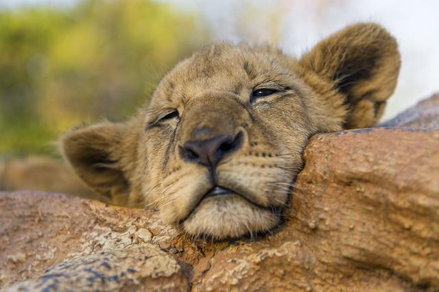 Sleeping lion cub!