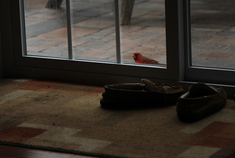 cardinal comes tapping