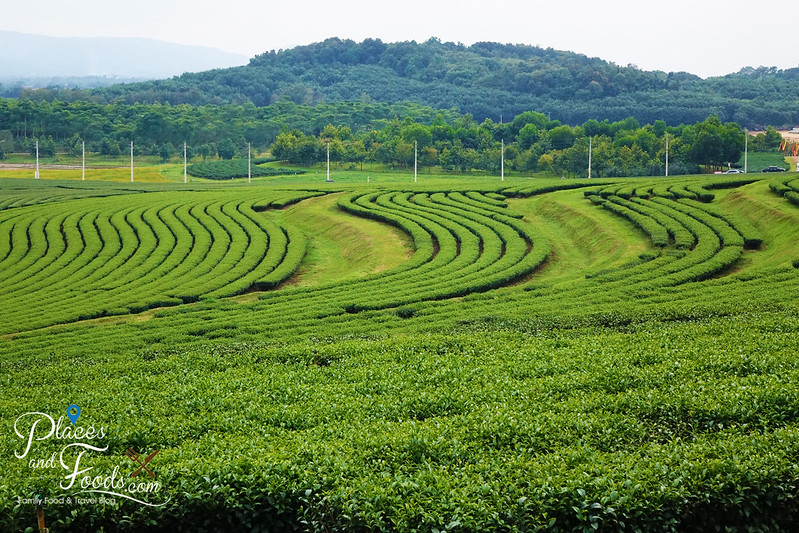 singha park tea plantation