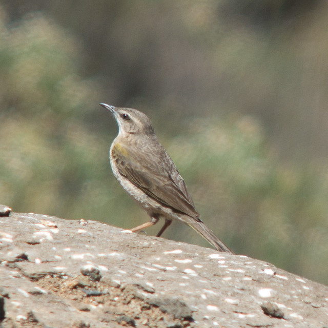 Header of African Rock Pipit