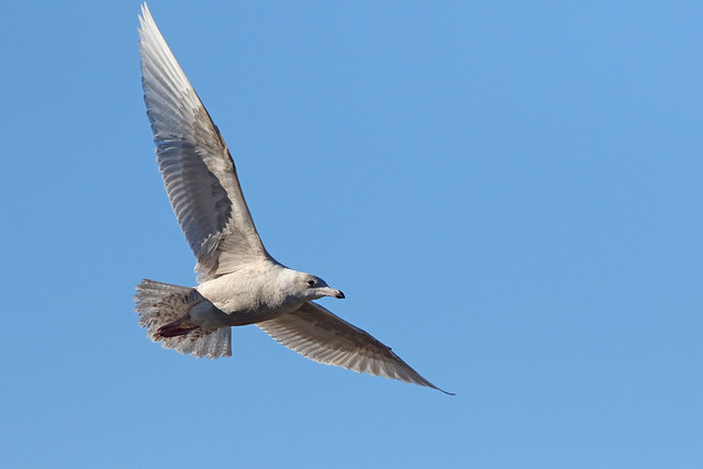 Glaucous Gull, Record Shot, Canon EOS 7D MARK II, Canon EF 400mm f/4 DO IS