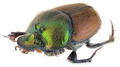 Onthophagus impressicollis Boheman, 1860 Female