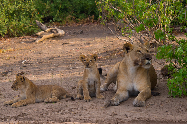 Mama and cubs