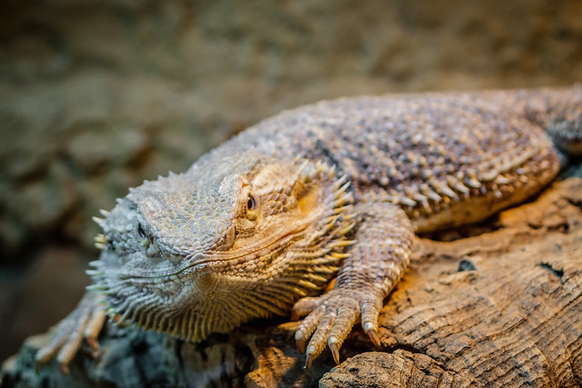 Bearded Dragon Lizard, Canon EOS 1300D, Canon EF 28-80mm f/3.5-5.6 USM IV