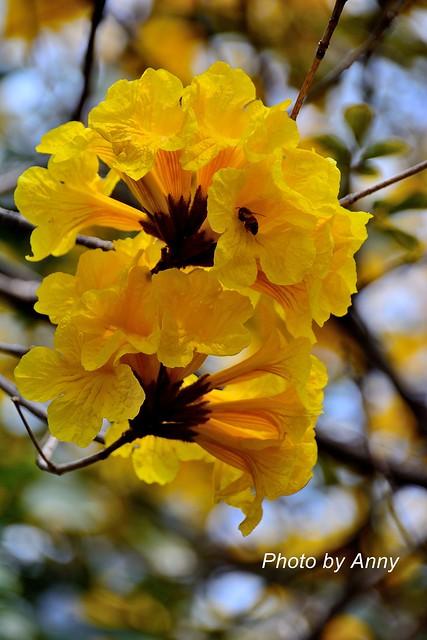 黃風鈴木10