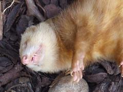 weasel(0.0), marten(0.0), mink(0.0), ferret(0.0), animal(1.0), mustelinae(1.0), mustelidae(1.0), mammal(1.0), fauna(1.0), polecat(1.0), whiskers(1.0), wildlife(1.0),