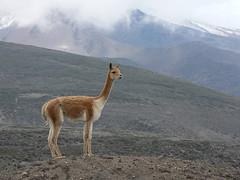 Tue, 22/03/2005 - 20:23 - Vicuna on the slopes of Chimborazo, Ecuador