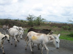 cattle-like mammal(0.0), mare(0.0), goats(0.0), grazing(0.0), goatherd(0.0), cattle(0.0), animal(1.0), donkey(1.0), pack animal(1.0), herd(1.0), pasture(1.0),