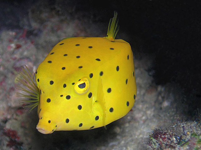 Yellow Boxfish - Redang photo by flickr user gwylow71