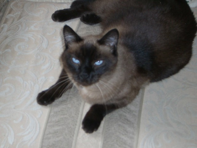 frankie the chocolate point siamese flickr photo sharing