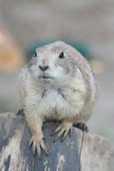 animal, squirrel, rodent, prairie dog, fauna, close-up, whiskers, wildlife,