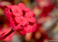 Red 'Crown of Thorns' succulent flowers