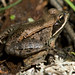 Wood Frog - Photo (c) Jack Illingworth, some rights reserved (CC BY-NC)