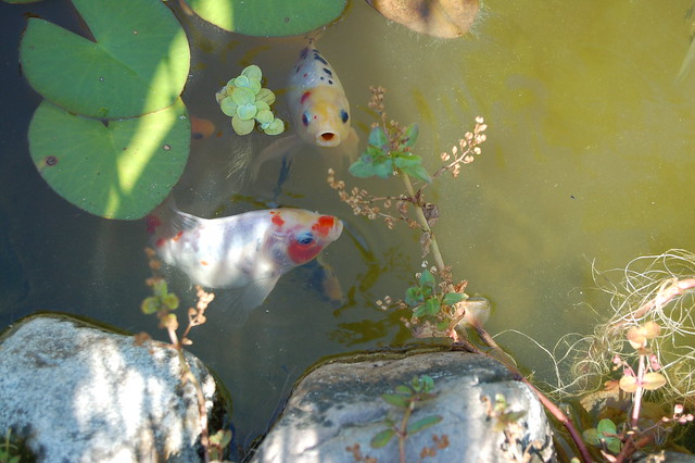 Gold Fishes in the Garden Pond // Guldfiskarna i fiskdammen
