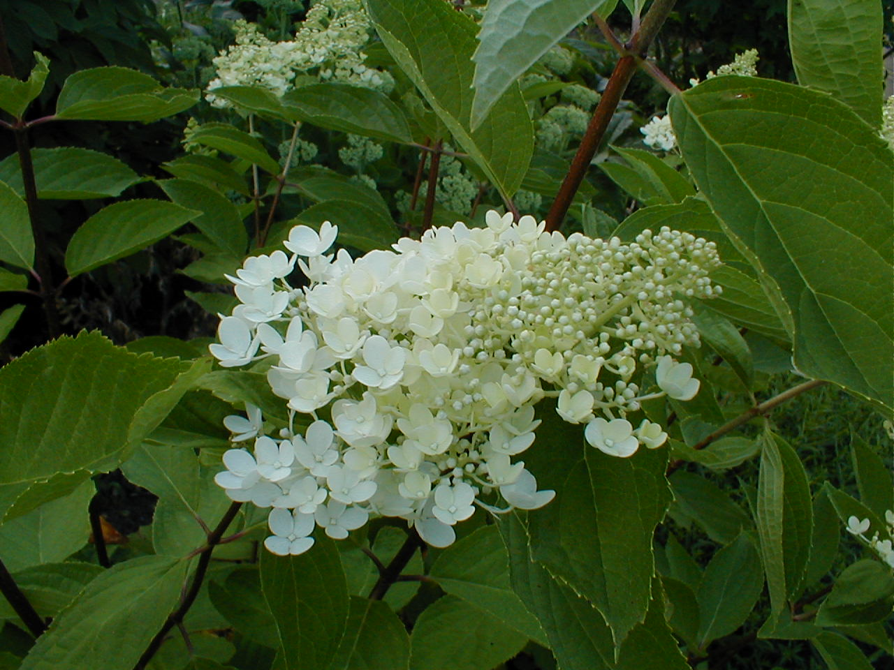 hortensia hydrangea paniculata grandiflora flickr. Black Bedroom Furniture Sets. Home Design Ideas
