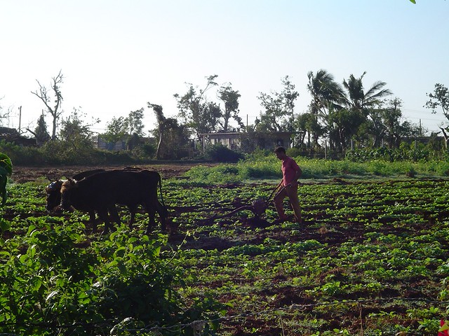 Cuban Farming