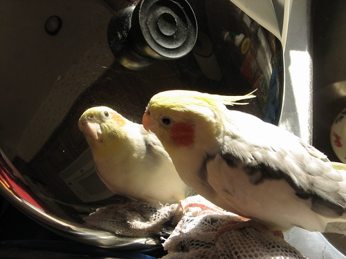 cockatiel birds