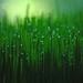 wheat grass with dew by lynne bernay-roman