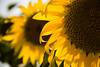 Sunflowers by Daniel Drumond