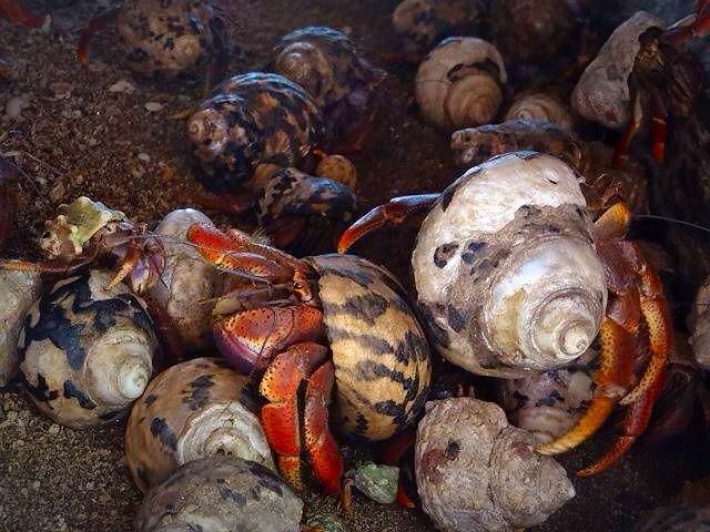 Hermit crab - Cayo Blanco - Cuba