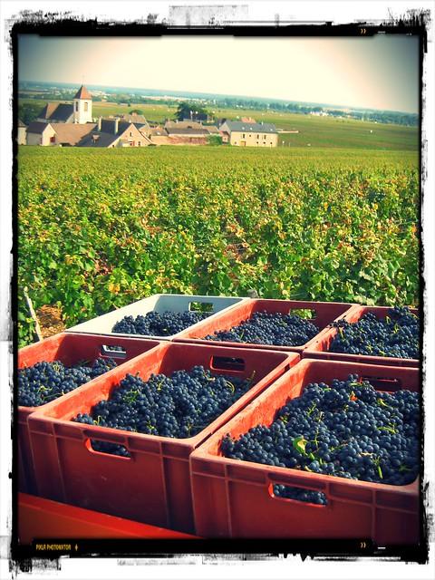 Vendanges au Clos de Tart (grand cru de la Côte-de-Nuits) en Bourgogne.