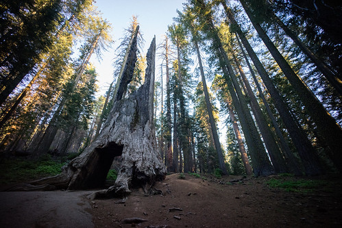 "Image titled ""Giant Sequoia, Tuolumne Grove."""