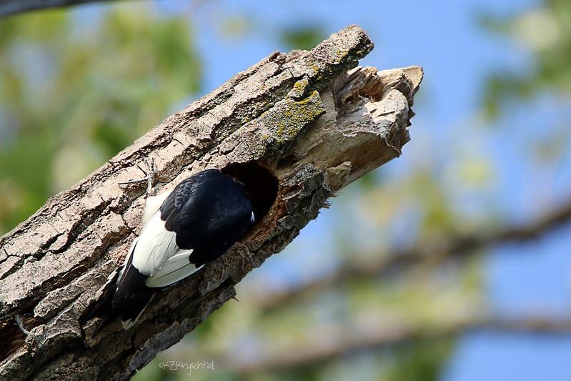 IMG_0909RedHeadedWoodpecker