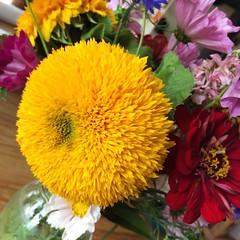 Loving my #teddybear #sunflowers!