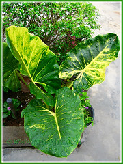 Alocasia macrorrhizos 'Variegata' (Variegated Giant Alocasia/Taro/Elephant Ear, Variegated Upright Elephant Ears) at the outer bed, July 15 2015