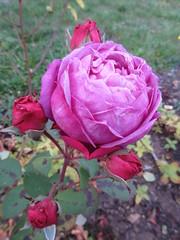 November roses - Old Port