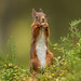 Red Squirrrel - Standing room only by crittersnapper