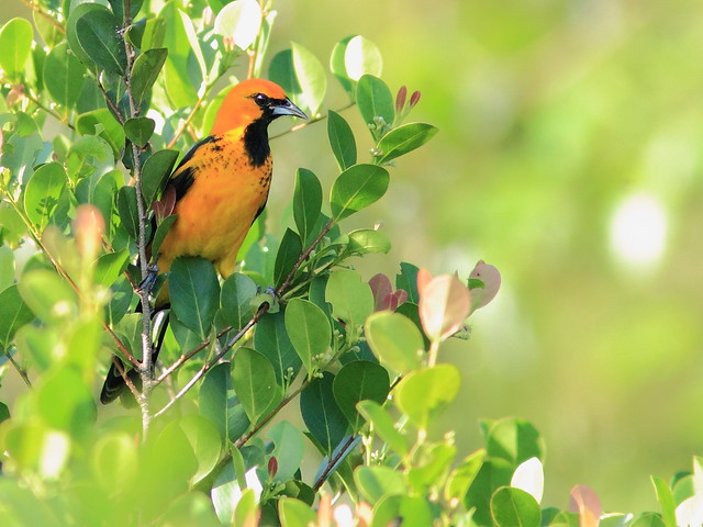 Spot-breasted Oriole 04-20151202