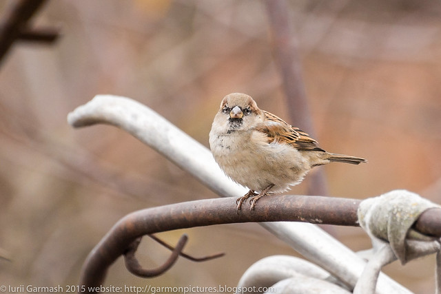 Sparrow on a metal pipe.