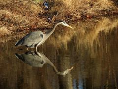 heron on the prowl