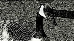 Canada Goose (Prisma)