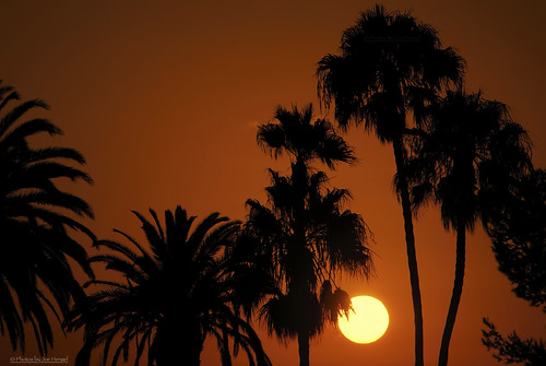 deepinthecaliforniajungle palmtrees palm palmfronds socal southerncalifornia sunset evening eveninglight eveningskies watchingthesunset theoc orangecounty oc outdoor orange goldenstate glow trees sky danapoint darkness saltcreekbeachpark saltcreek silhouettes silhouette 7dwf