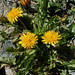 Small photo of Taraxacum alpinum agg. (Alpine Dandelion)