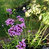We do have a lot of verbena in the garden, but it's never quite enough.