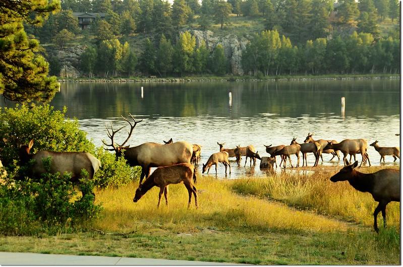 Elk, Lake Estes 4