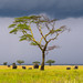 Tanzania, Mara, Serengeti National Park, african elephants (loxodonta africana) behind an acacia tree under a stormy sky by Eric Lafforgue