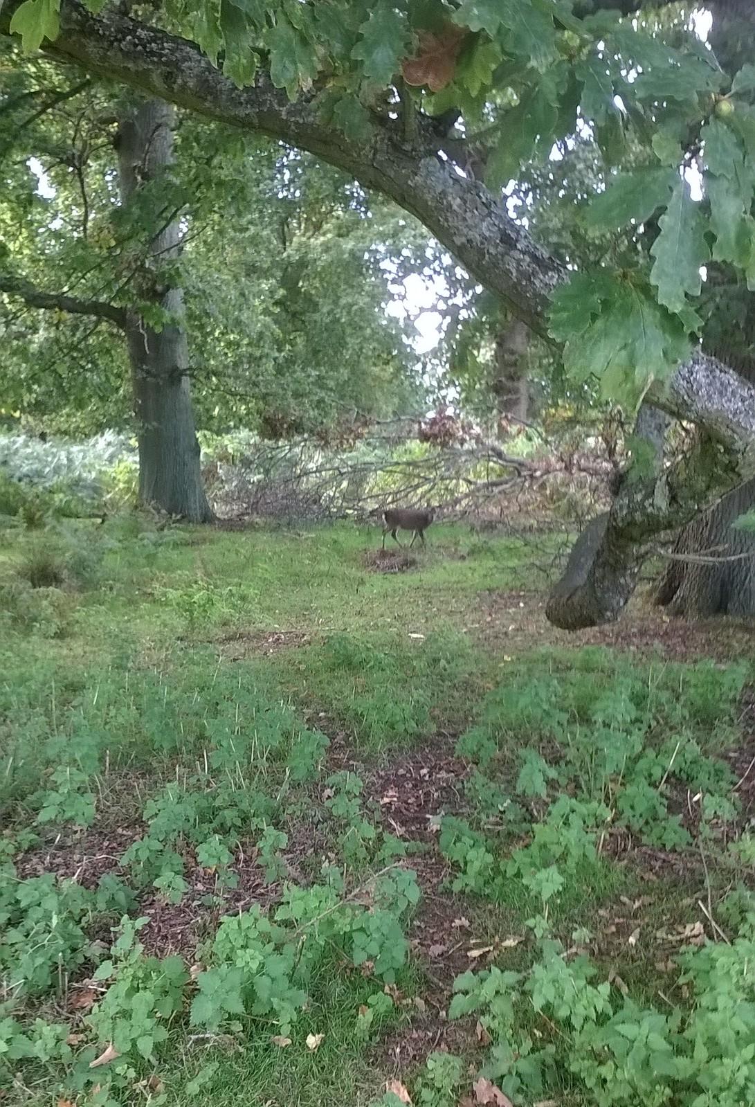 Spotted deer? Knole Park