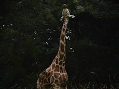 Giraffa camelopardalis reticulata DT [US New York Zoo] (2)