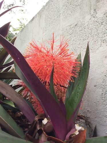 Flowering plants, St. Andrew, Jamaica