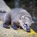 Sleepy Coati by ep_jhu