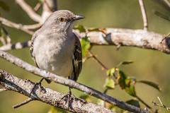 La Chua Trail Mockingbird