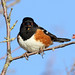 Pipilo maculatus ♂ (Spotted Towhee) - Skagit, WA