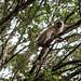 Vervet monkey by mirsasha